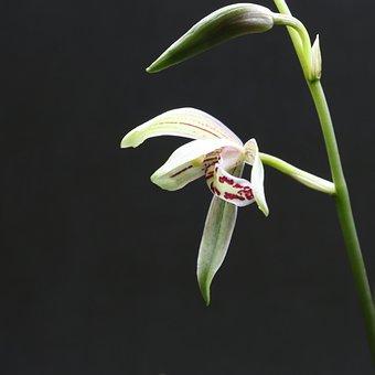 Orchid, Flower, White, Red, Purple, Macro, Leaf, Leaves