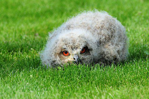 Eagle Owl, Young Bird, Owl, Lying, Eagle Observatory