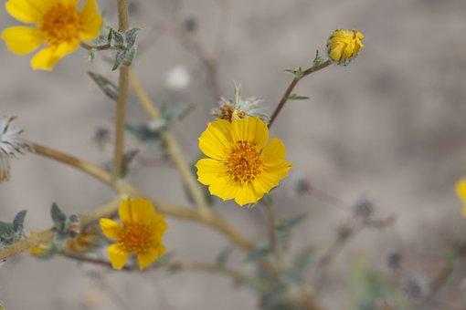 Desert Sunflower, Geraea Canescens, Mojave, Desert