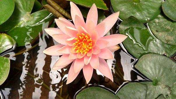 Flowers, Lotus, Nature, Lotus Flower, Blossom, Water