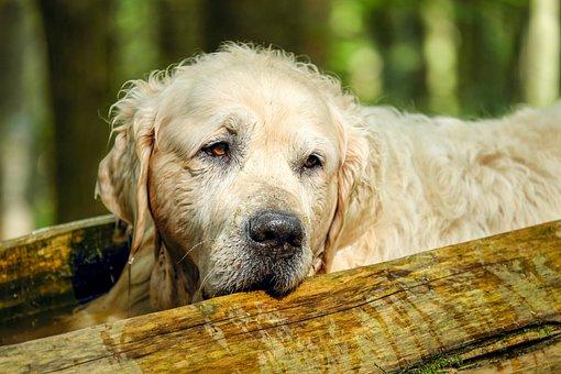 Golden Retriever, Dog, Retriever, Purebred Dog, Big Dog