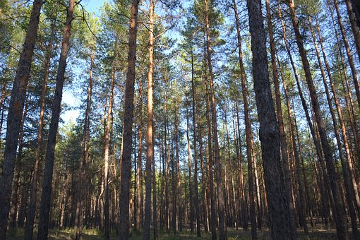Forest, Pine, Nature, Trees, Russia, Needles, Summer