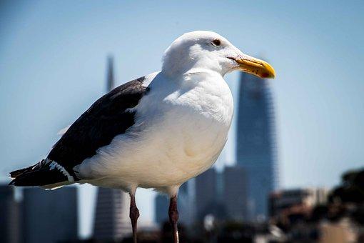 Seagull, Bird, Close, Sharp, Macro, San Francisco, View