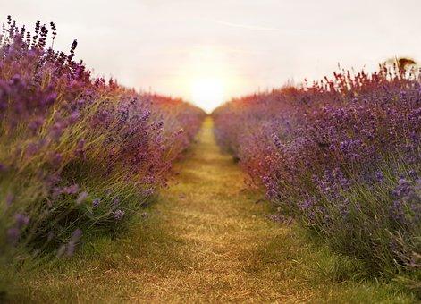 Lavender, Field, Nature, Summer, Violet, Natural, Plant