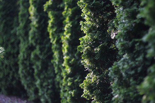 Hedge, Evergreen, Garden, Foliage, Texture, Wall