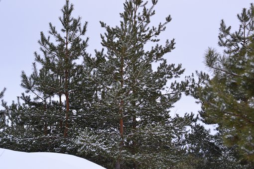 Winter, Tree, Snow, Pine, Forest, Nature, Winter Forest