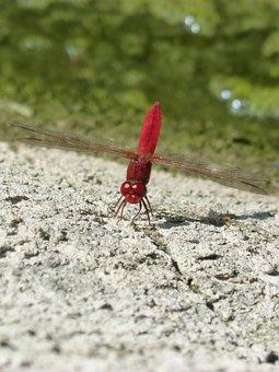 Dragonfly, Red Dragonfly, Rock, Pond, Wetland, Algae