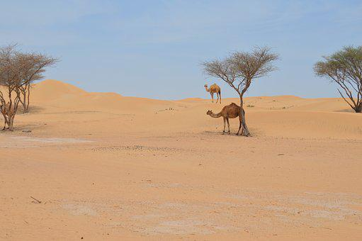 Desert, Camel, Arabic