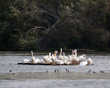 Pelicans, Wetlands, Bird, Reserve
