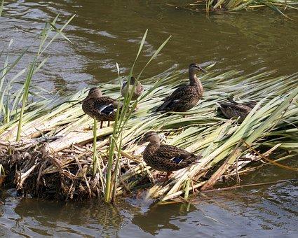 Ducks, Reeds, Lake, Wetland
