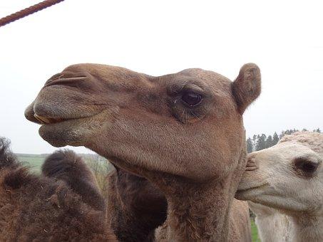 Camel, Head, Desert Ship