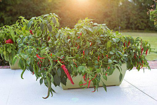 Hot Peppers, Growing, Red Peppers, Cayenne Peppers