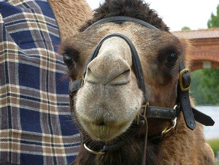 Camel, Face, Close, Hump, Desert Animal, Head