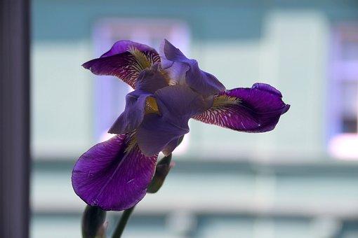 Flower, Iris, Violet, A Garden Plant, Macro, Closeup