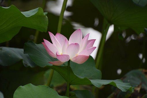 Lotus, Flower, Close-up, Lotus Leaf