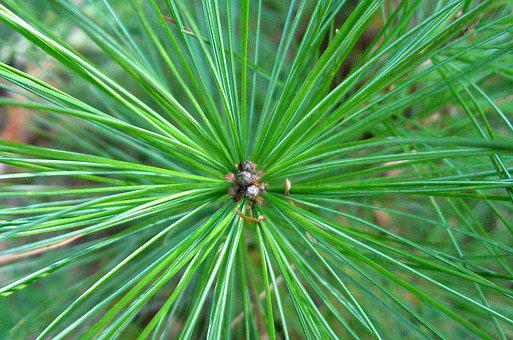Pine Tree, Pine Needles, Pine, Evergreen, Fir, Needles