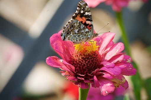 Painted Lady Butterfly, Butterflies, Insect, Summer