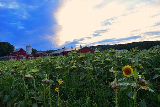 Sunflower, Pasture, Green, Sunset, Clouds, Landscape