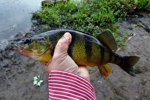 Perch, Yellow Perch, Yellow Fish, Fishing, Freshwater