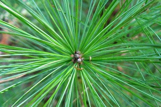 Pine Tree, Pine Needles, Pine, Evergreen, Fir, Needles