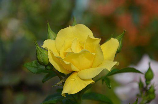 Pink, The Colour Yellow, Rosebuds, Green Leaves