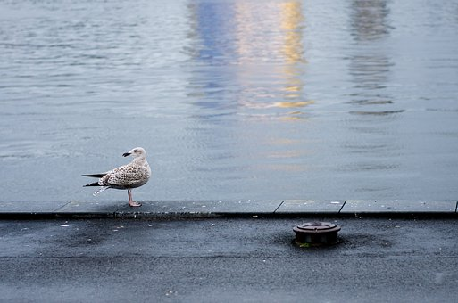 Harbour, Seagull, Bird, Water, Gull, Ocean, Harbor