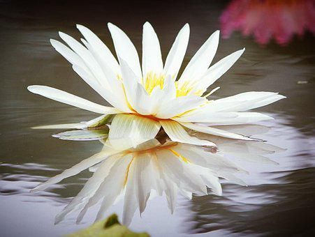 Water Lily Flower, Nature, White, Pond, Summer