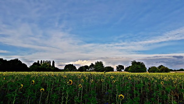 Field, Landscape, Sunflowers, Nature, Clouds, Spring