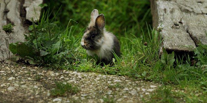 Rabbit, Wild, Nature, Young Animal