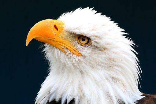 White Tailed Eagle, Adler, Bird Of Prey, Bald Eagle