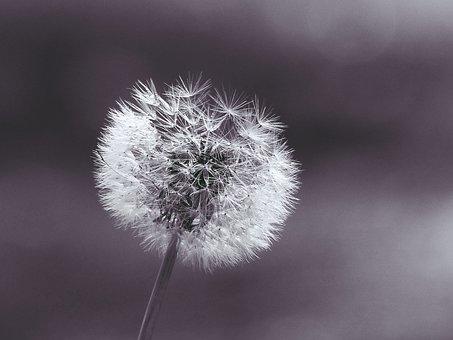 Dandelion, Plant, Close, Macro, Nature, Roadside