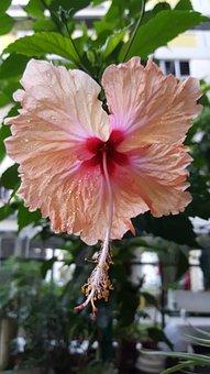 Hibiscus, Flower, Tropical, Exotic, Hawaii, Design