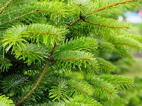 Conifer, Fir, Green, Nature, Tree, Pine Needles