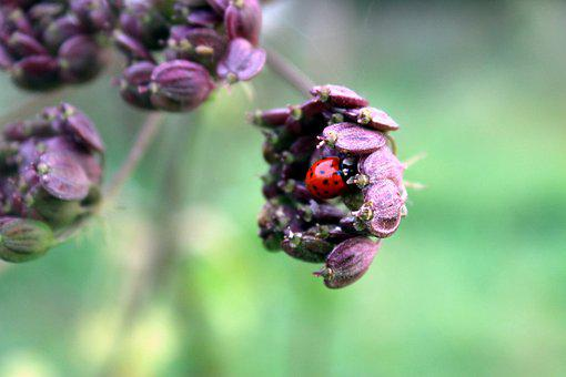 Ladybug, Blossom, Bloom, Nature, Close