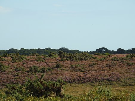 Heather, New Forest, Forest, Nature, Landscape, Meadow