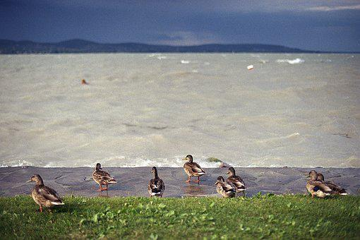 Ducks, Lake, Storm, Balaton, Hills, Grass, Nature
