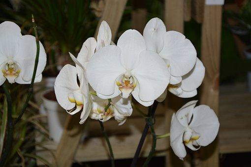 White Orchid, White Flowers, Offer Gift, Flowering