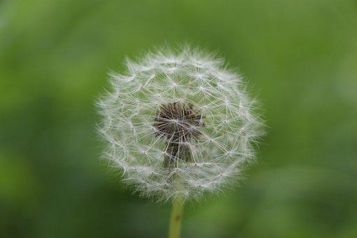 Dandelion, Flower, Summer, Plant, Pointed Flower, Close