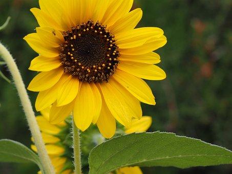 Sun Flower, Yellow, Flower, Summer, Blossom, Bloom