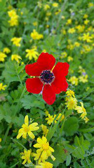 Wild, Nature, Poppy Flower