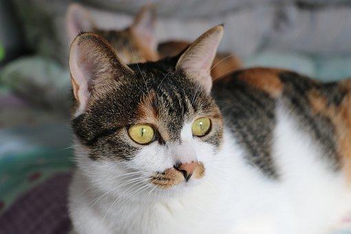 Cat, Tabby Cat, Bed