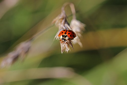 Ladybug, Insect, Beetle, Grass, Blade Of Grass, Macro