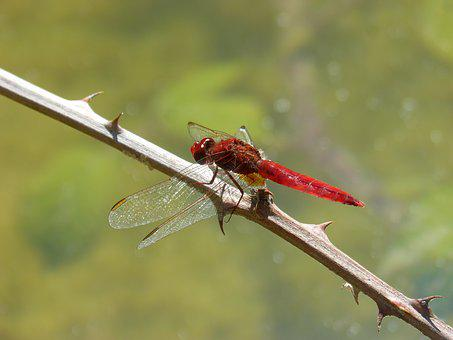 Red Dragonfly, Dragonfly, Branch, Thorns, Wetland, Pond