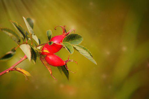 Rose Hip, Nature, Fruit, Plant, Red, Berry, Bush