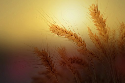Wheat, Ear, Wheat Field, Nature, Cereals, Sunlight
