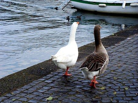 Geese, Couples, Ferragosto