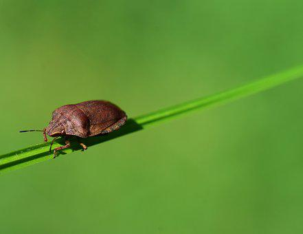 Leaf Bug, Beetle, Insect, Nature, Insect Photo, Bug