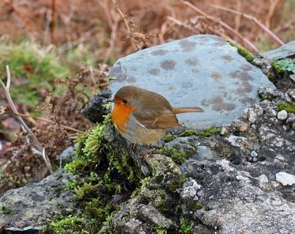 Nature, Birds, Kerry, Ireland, Red Robin