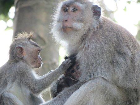 Monkey, Indonesia, Bali, Macaques, Monkey Cub, Animal