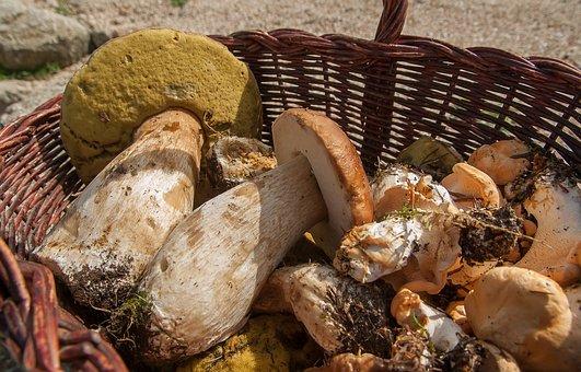 Mushrooms, Ceps, Sheep's Feet, Pick, Fall, Basket